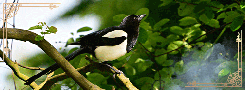 Elster krafttier Vogel Bild: